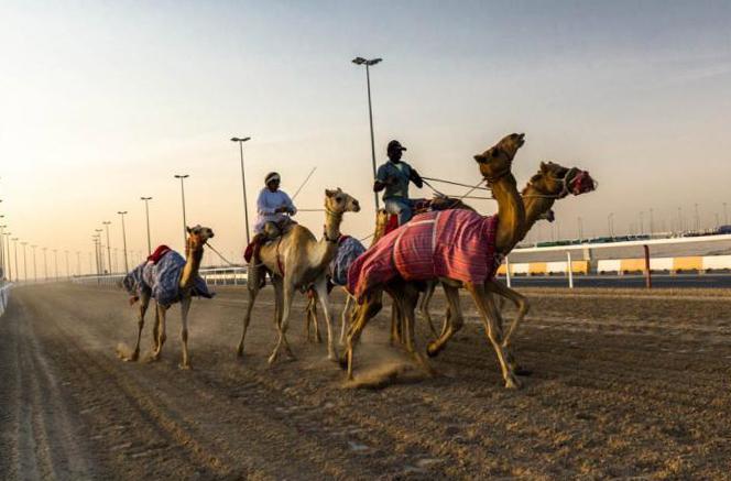 Чем заняться в Дубае в ноябре - верблюжьи бега