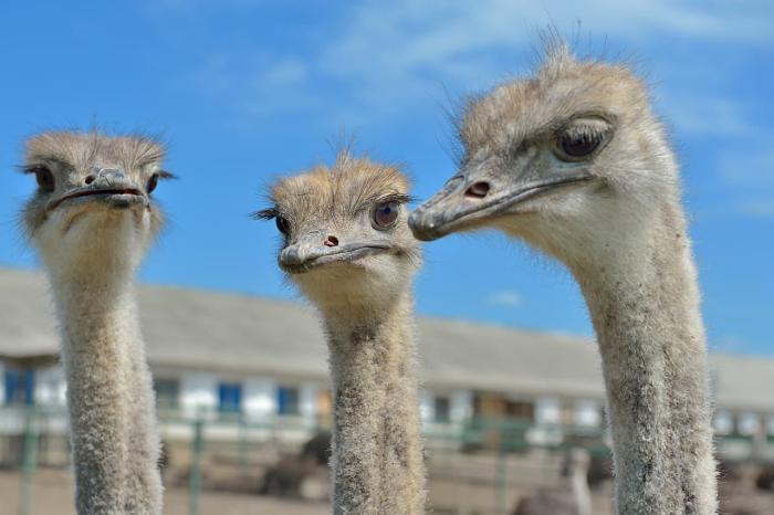Еск, Посетите страусиное ранчо