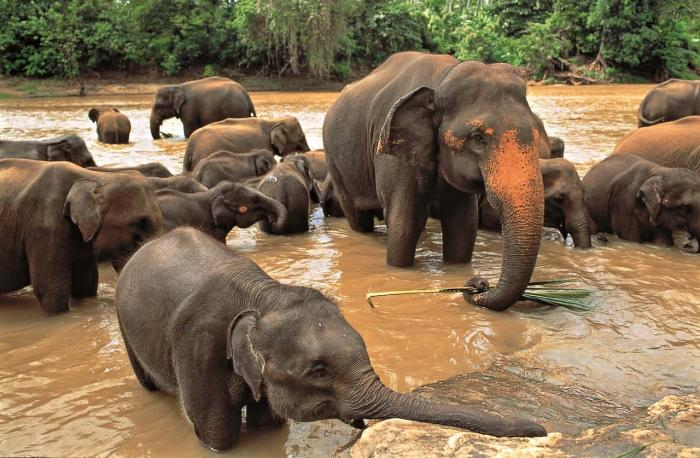 Шри-Ланка, приют для слонов в Пиннавела