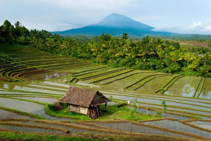 Шри-Ланка, рисовые поля