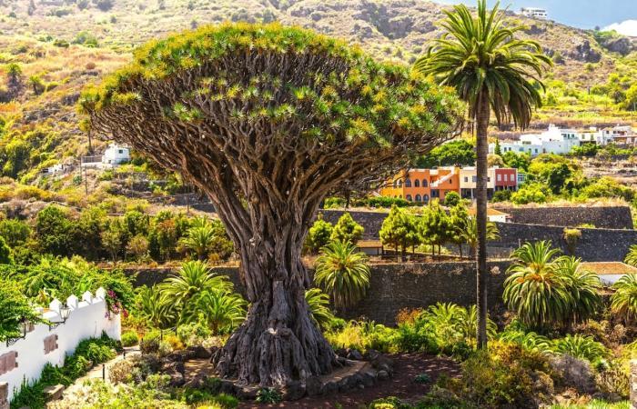 Канарские острова, Знаменитое Драконово дерево