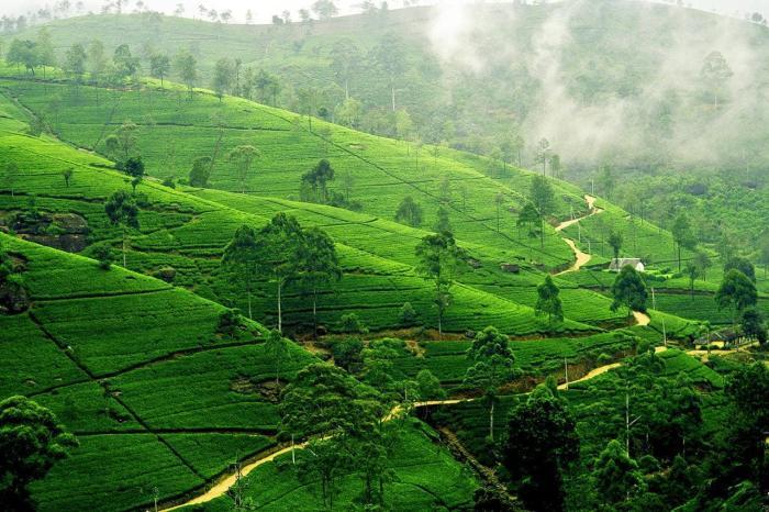 Шри-Ланка, Посмотрите на чайные планктации в Нувара-Элии
