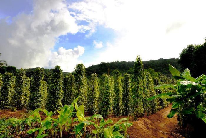 Фукуок, плантация черного перца