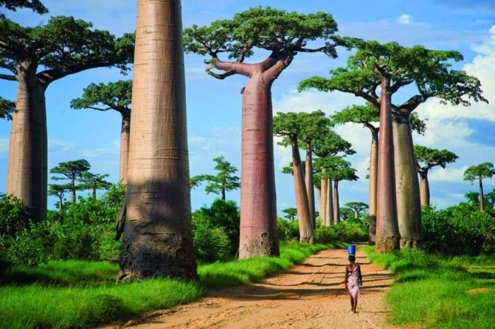 Мадагаскар, Аллея баобабов - самая узнаваемая аллея в мире