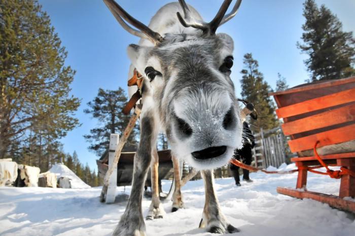 Лапландия, Покатайтесь на оленьих упряжках