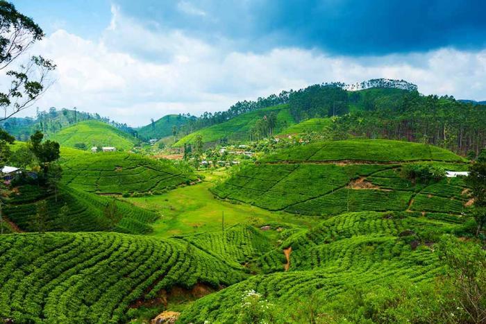 Шри-Ланка, Чайные планктации
