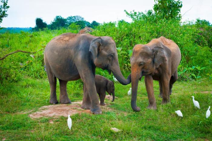 Шри-Ланка, Приют для слонов
