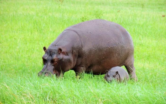 Отдых с детьми в Бангкоке, Бегемоты Dusit Zoo
